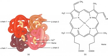 What is the Function of Hemoglobin in the Human Body
