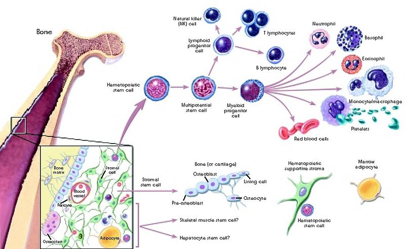 Difference Between Adult and Embryonic Stem Cells