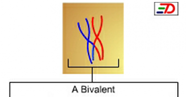 Difference Between Bivalent and Tetrad