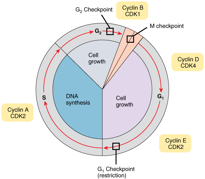 Difference Between Cell Cycle and Cell Division