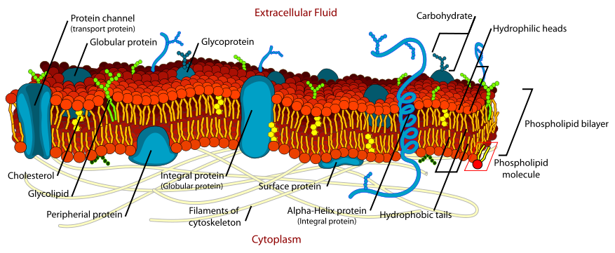 Difference Between Cell Membrane and Cell Wall