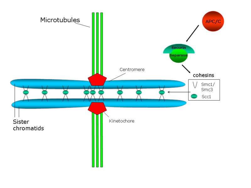Difference Between Centromere and Kinetochore - 4