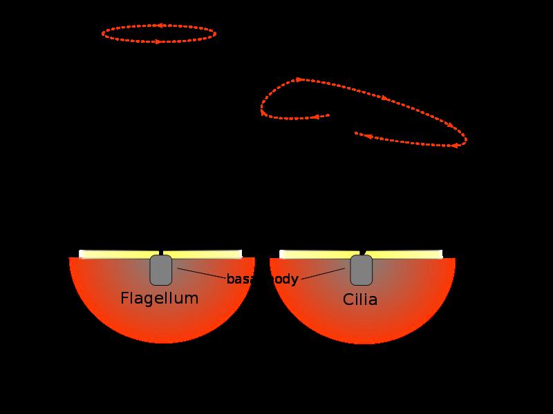 Main Difference - Cilia vs Flagella