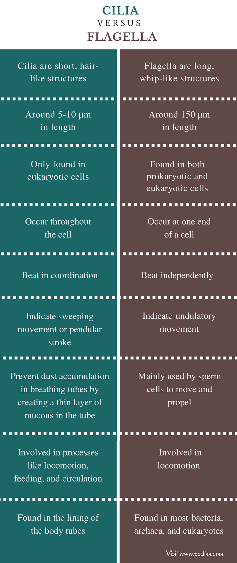 Difference Between Cilia and Flagella- Comparison Summary
