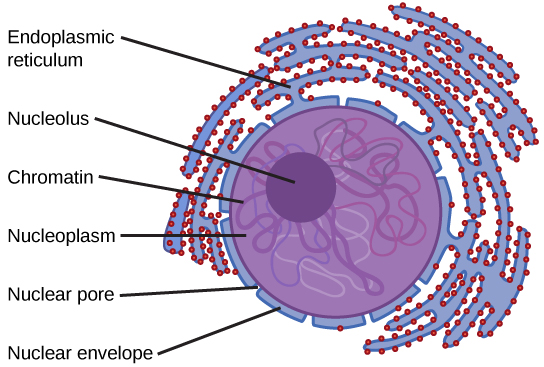 Main Difference -  Cytoplasm vs  Nucleoplasm