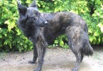 Difference Between Dutch Shepherd, King Shepherd and German Shepherd