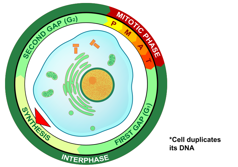 Main Difference - Interphase vs Prophase