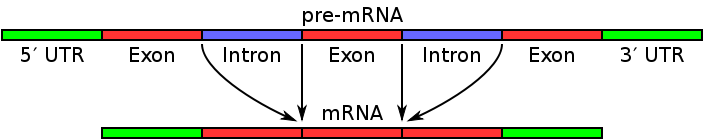 relationship between introns exons and rna splicing structure