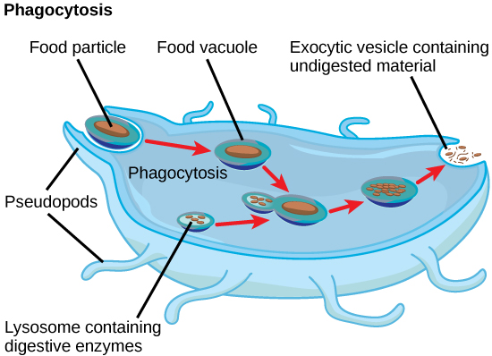 difference between lysosome and ribosome structure Unicellular Protists Types of Protists