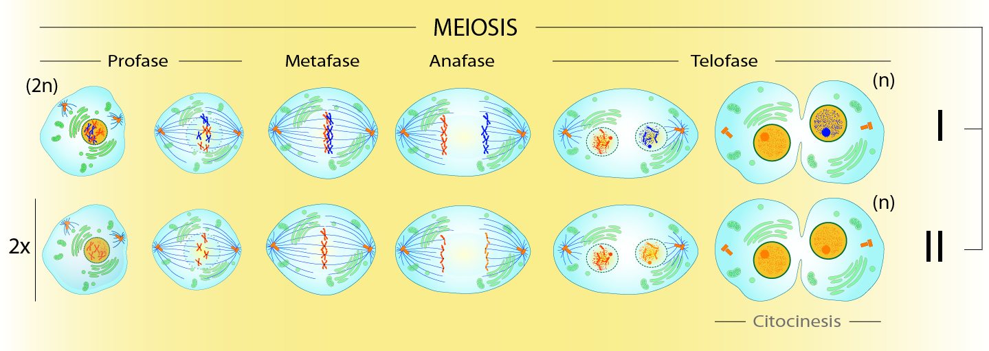 Difference Between Meiosis 1 and Meiosis 2 - 1