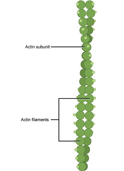 Key Difference - Microtubules vs Microfilaments