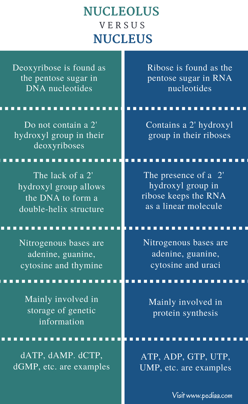 Difference Between Dna And Rna Nucleotides