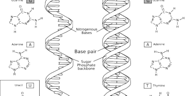 Difference Between Nucleotide and Nucleic Acid
