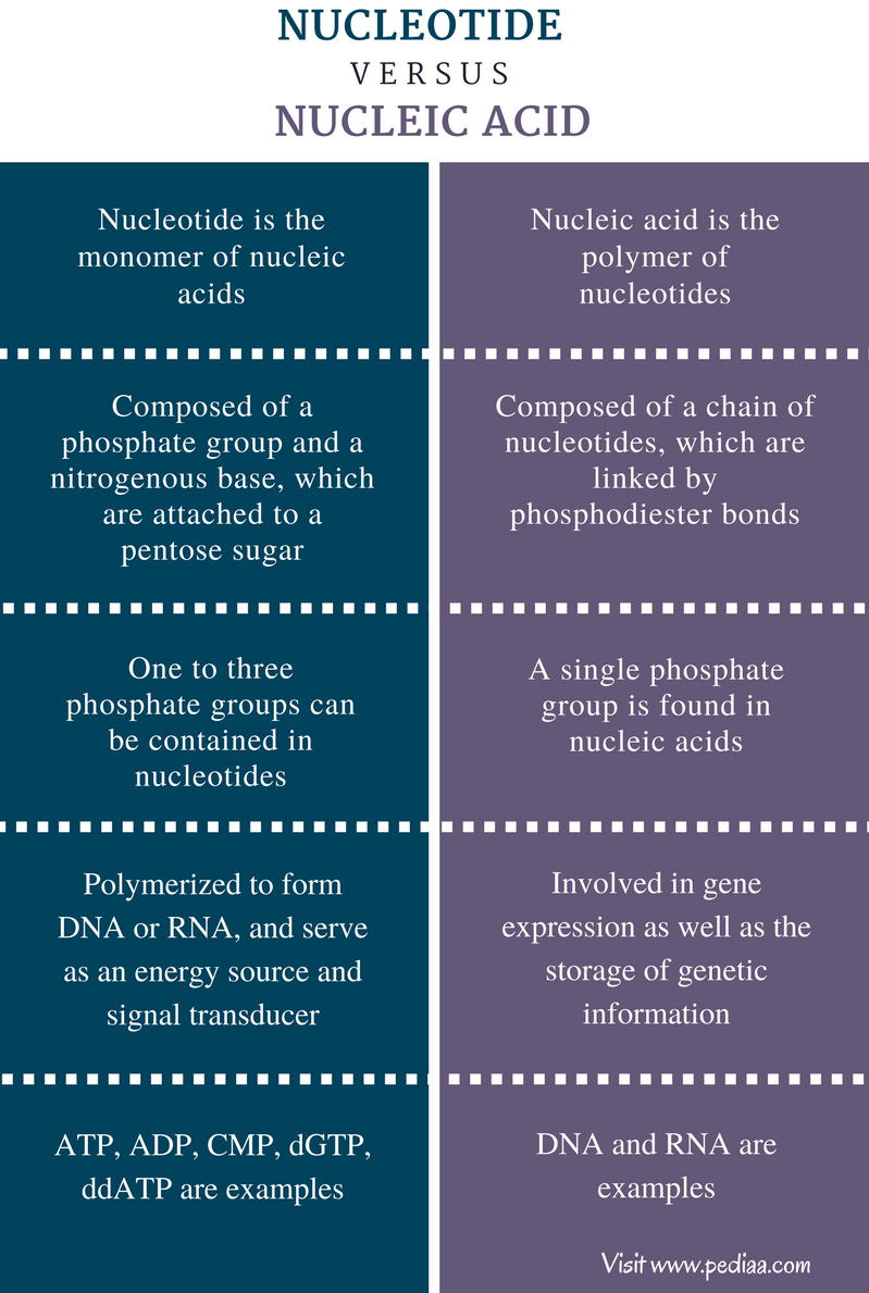 Difference Between Nucleotide and Nucleic Acid - Comparison Summary