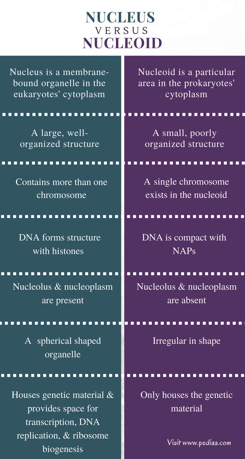 Difference Between Nucleus and Nucleoid - Comparison Summary