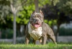 Difference Between Pitbull and American Bully