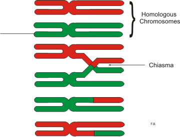 Difference Between Prophase 1 and 2