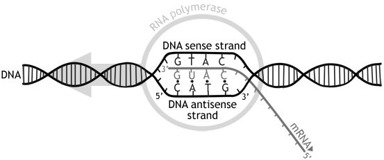 Difference Between Sense and Antisense Strand