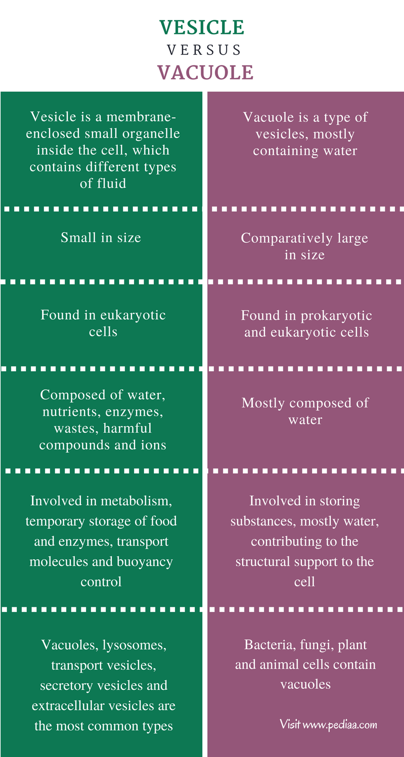Difference Between Vesicle and Vacuole - Comparison Summary