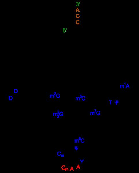 Difference - mRNA vs tRNA