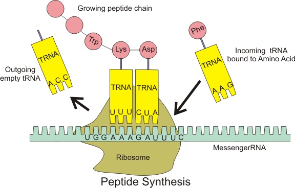 Difference Between mRNA and tRNA  - 6