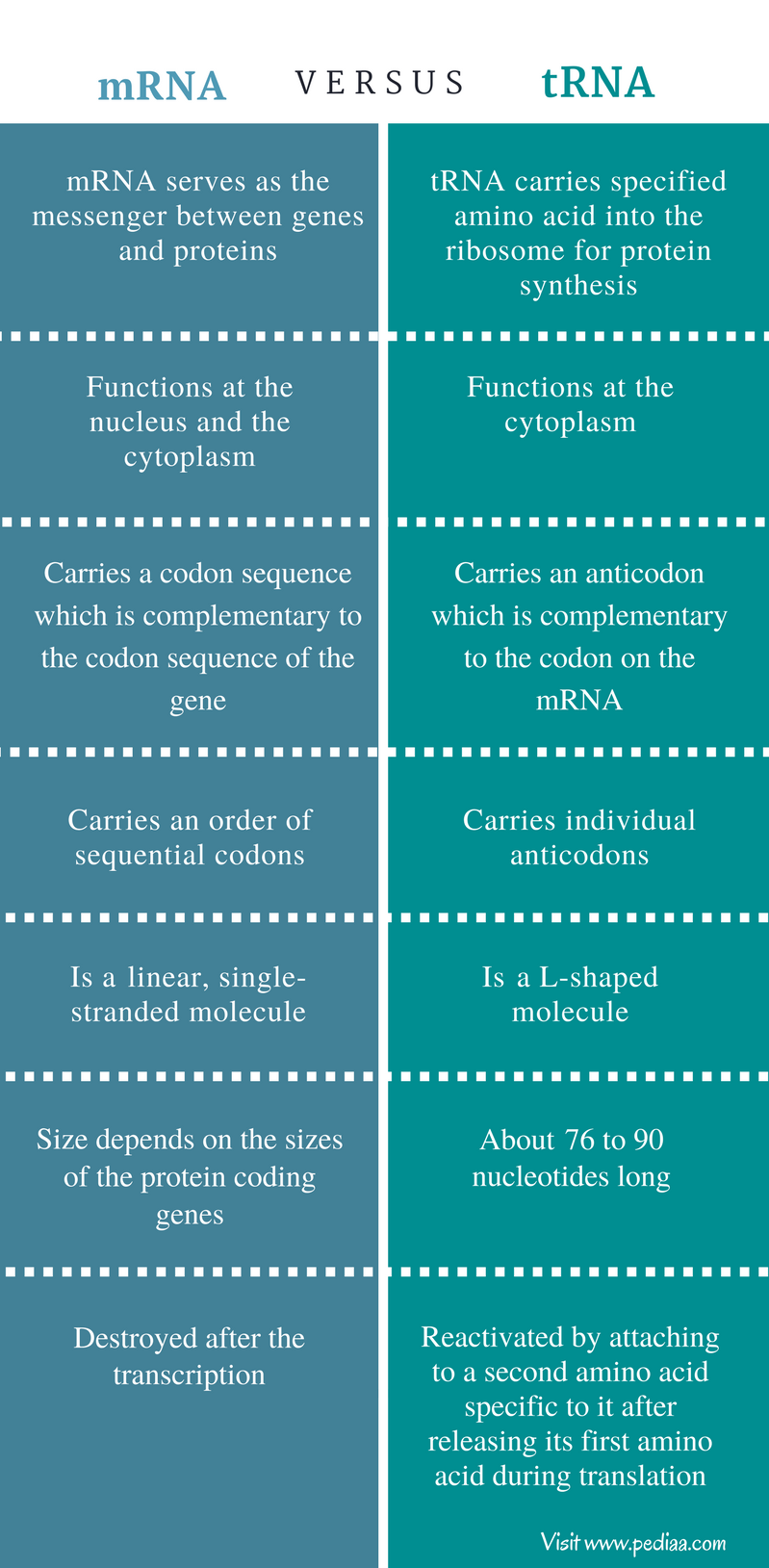 Difference Between mRNA and tRNA - Comparison Summary