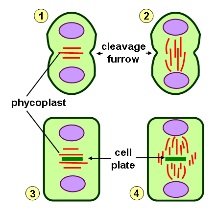 How is Cytokinesis Different in Plants and Animals - 3