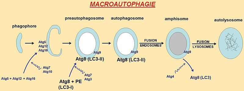 Main Difference - Autophagy vs Phagocytosis