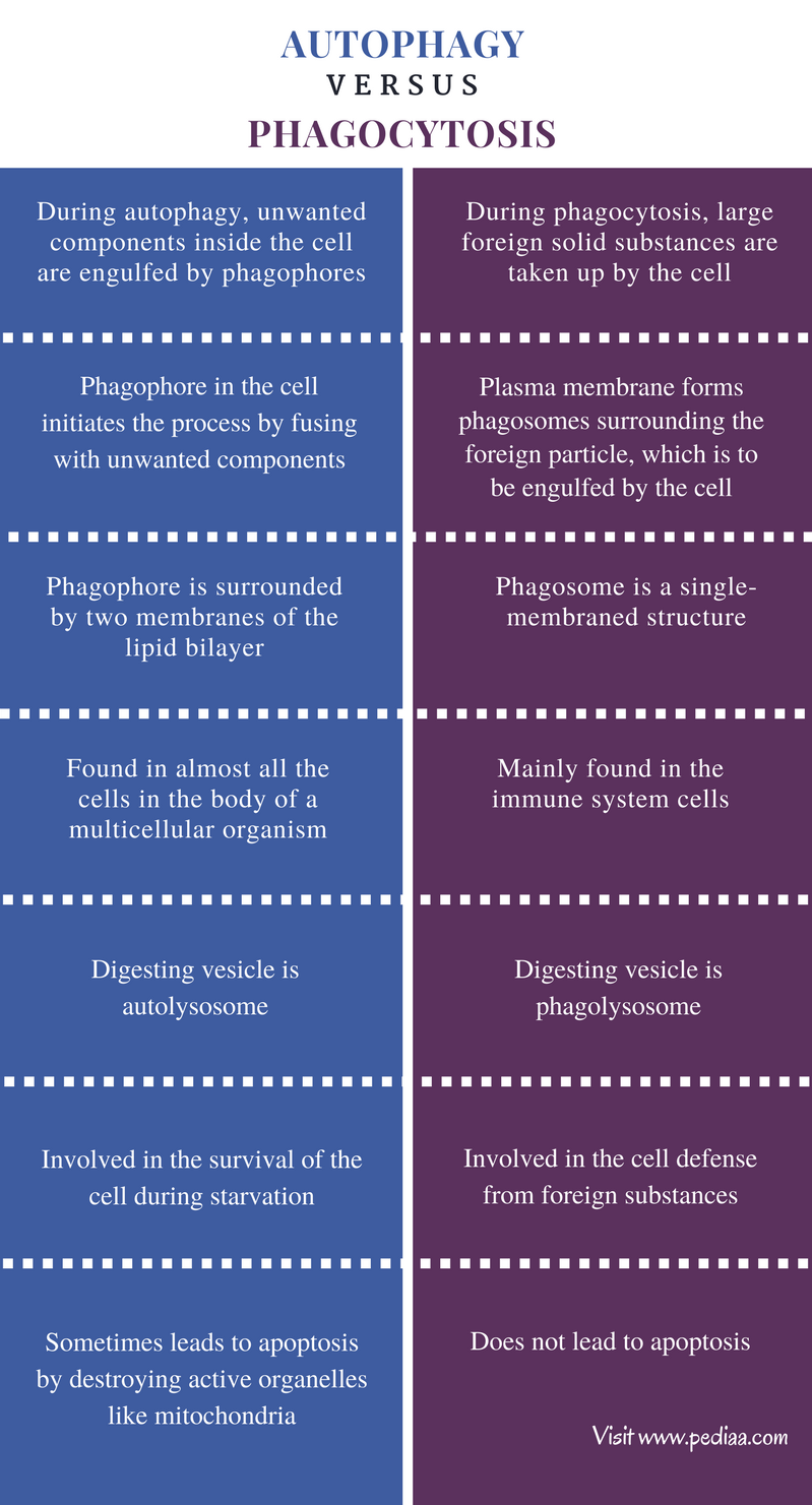 Difference Between Autophagy and Phagocytosis - Comparison Summary