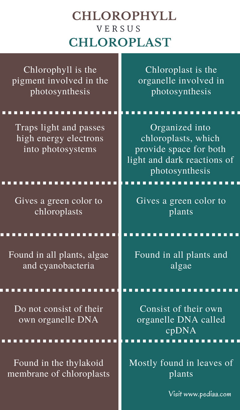 Difference Between Chlorophyll and Chloroplast - Comparison Summary