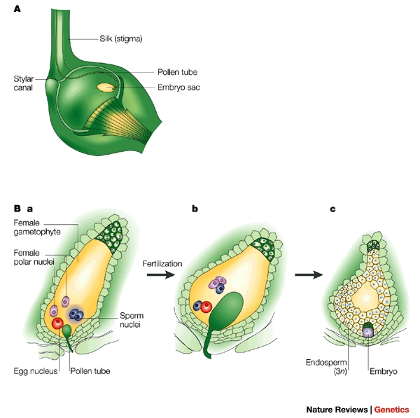Difference Between Double Fertilization and Triple Fusion