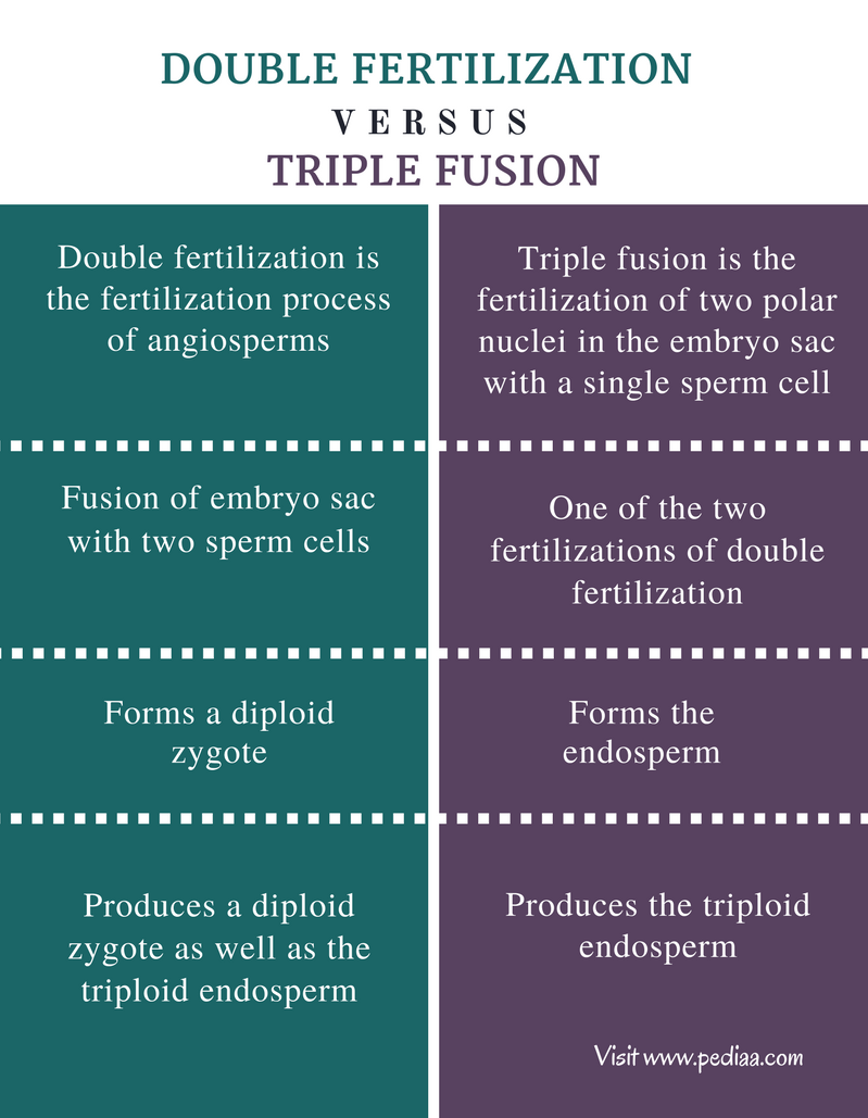 Difference Between Double Fertilization and Triple Fusion - Comparison Summary