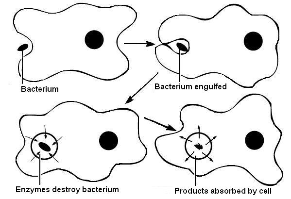 Main Difference - Endocytosis vs Exocytosis