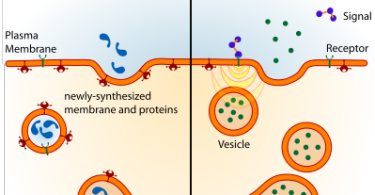 Difference Between Endocytosis and Exocytosis