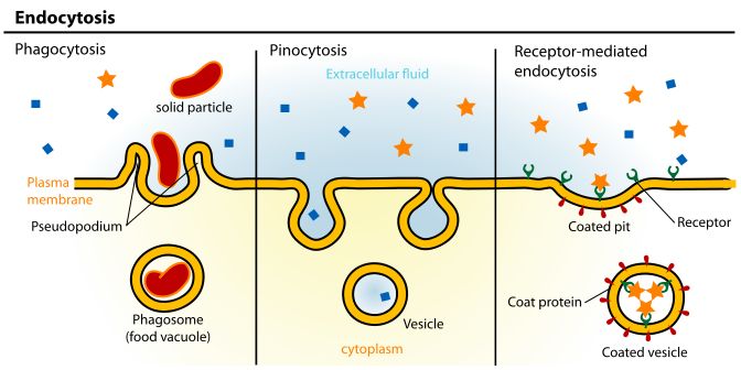 Difference Between Endocytosis and Phagocytosis