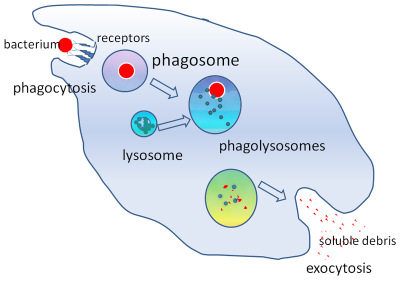 Main Difference - Endocytosis vs Phagocytosis