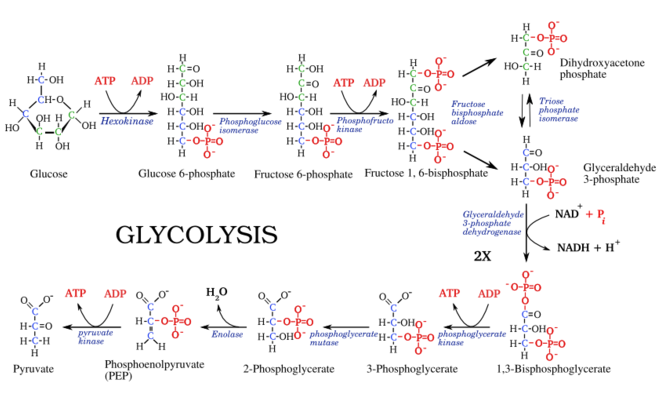 Difference Between Glycolysis and Gluconeogenesis