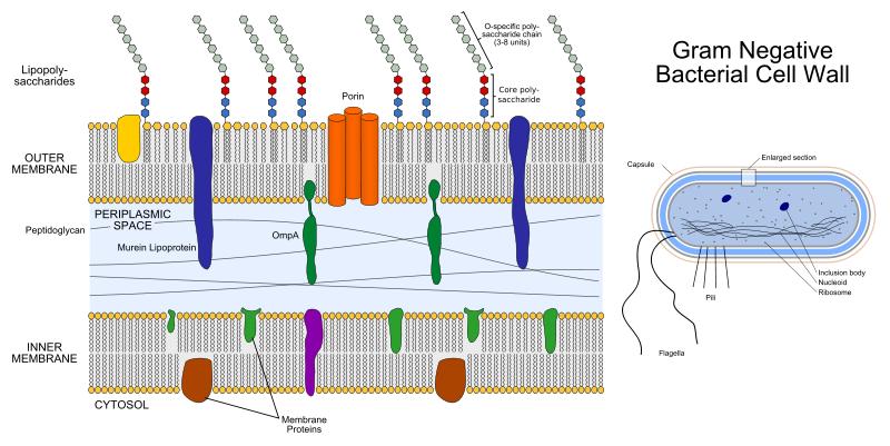Main Difference -  Gram Positive vs Gram Negative Bacteria