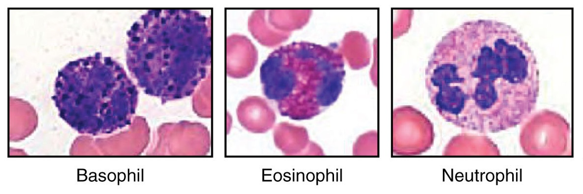relationship between basophils and eosinophils