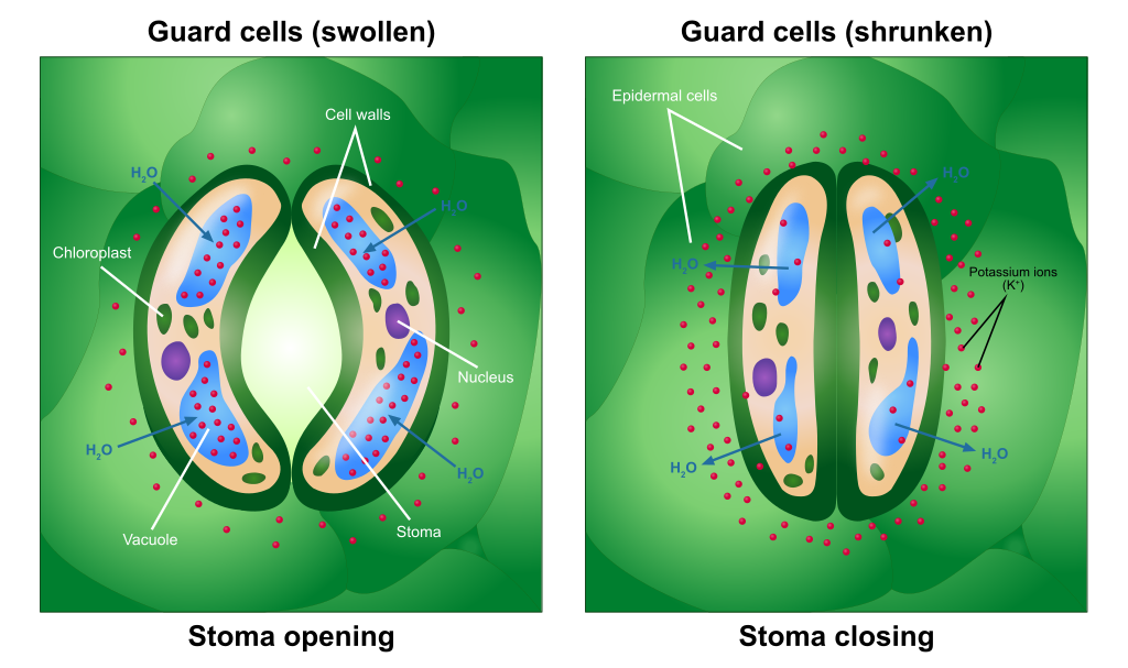 relationship between stomata and guard cells of a plant