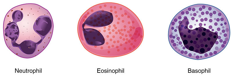 Difference Between Neutrophils Eosinophils and Basophils