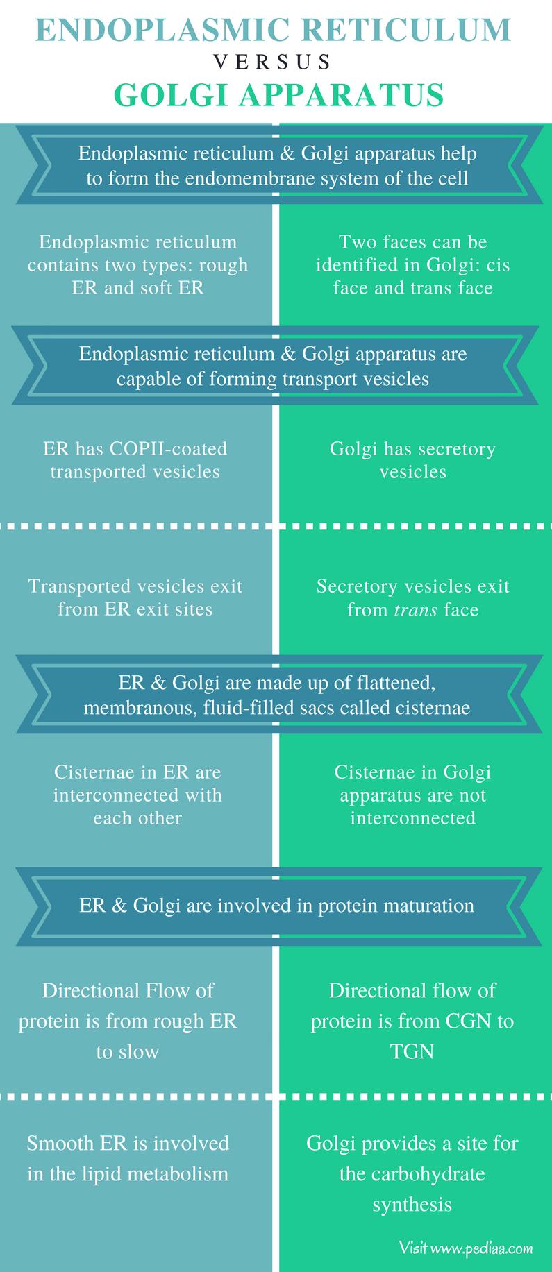 Relationship Between Endoplasmic Reticulum and Golgi Apparatus - Comparison Summary