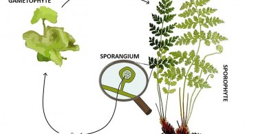 Difference Between Bryophytes and Pteridophytes - 3
