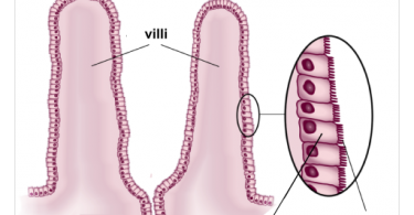 Difference Between Cilia and Microvilli