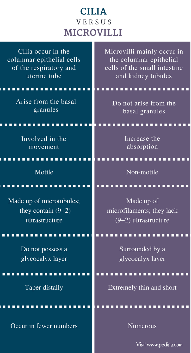 Difference Between Cilia and Microvilli - Comparison Summary
