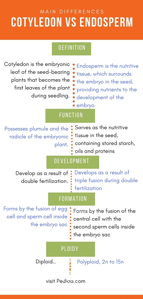 Difference Between Cotyledon and Endosperm_Comparison Summary
