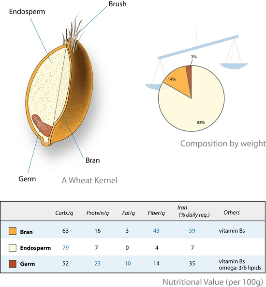 Difference Between Cotyledon and Endosperm_Figure 03