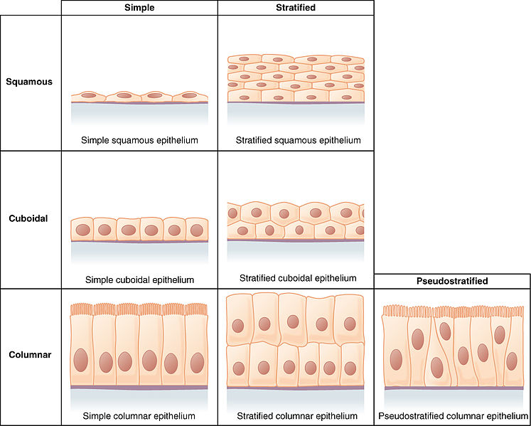 Difference Between Epithelial and Connective Tissue