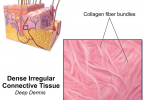 Difference Between Epithelial and Connective Tissue - 3