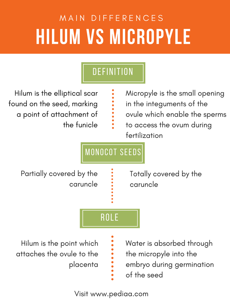 difference between hilum and micropyle - comparison summary